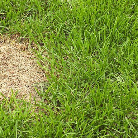 """Lush green grass surrounds a patch of dead grass, most likely killed by a fungus or dog urine. Narrow depth of field.See related:"""